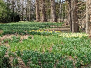 And look - the daffodil border just behind these new plantings is coming up beautifully. I can't wait to show you this area once the daffodils are blooming - we'll soon have gorgeous swaths of yellow, white and orange. You will love it.