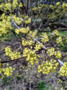 In early spring, the Cornus mas shows off a profusion of small rounded clusters of tiny, bright yellow flowers open on the naked branches that last for several weeks.