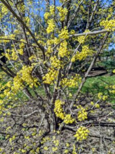 It's perfect in front of this Cornus mas. Cornus mas, commonly known as Cornelian cherry dogwood, is a deciduous shrub or small tree that is native to central and southern Europe into western Asia. It typically grows over time to 15 to 25 feet tall with a spread to 12 to 20 feet wide.
