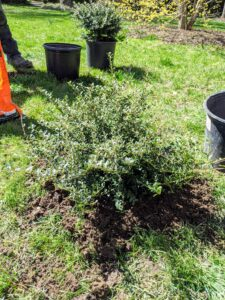 The last of the new plants is the Heller holly - an evergreen shrub that grows up to five feet tall and is considered a dwarf form of Ilex crenata. It is dense, rigid, and compact with a spreading mound and non-showy green foliage.