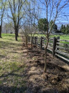 "I also decided to plant hostas in between the osage orange trees down by my Run-In horse shed. The Osage orange, Macular pomifera, is a small deciduous tree or large shrub. During the mid 19th century, the sharp-thorned trees were often planted as cattle-deterring hedges before the introduction of barbed wire in the 1870s. Afterwards, the Osage orange trees became an important source of fence posts. The Osage orange is also known as a Bois D'arc, a name that was given by French settlers meaning ""bow-wood""."