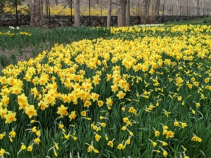 A few days later, large areas of daffodil flowers were open giving a wonderful show of color.