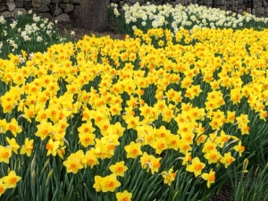My daffodil border is broken up into various groupings – different varieties, different shapes and sizes and different blooming times. This provides a longer splash of color.