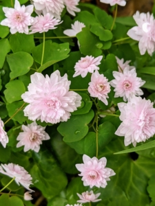 Anemonella thalictroides is an easy-to-grow, deer-resistant, durable, but dainty looking plant. The genus name Anemonella roughly translates as 'little anemone' because its flowers are miniature copies of the windflower. These are a light pale pink, but they also appear in white.