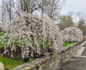 A weeping cherry tree is at its best when the cascading branches are covered with pink or white flowers. These two outside my stable only bloom for a short while. These trees are big eye-catchers when guests are lucky enough to see them in bloom.