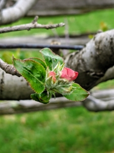 Here is a closer look. The majority of apple tree blossoms begin as pink buds and bloom as white flowers. Father Legendre of Hannonsville, France is credited with pioneering the espalier growing method in 1684. Because sunlight reaches every piece of fruit that these trees bear, espalier pruning continues to be a standard procedure at commercial orchards in France.