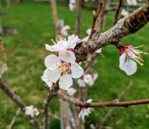 Blossoms are also emerging on the fruit trees in my orchard. My fruit trees have been doing so well – in part because of how nutrient-rich the soil is. These flowers are on one of the apricot trees.