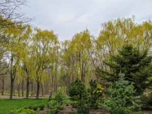 From a distance, everyone notices the stunning golden-yellow weeping willows. Here is one grove of weeping willows at the edge of my pinetum. The golden hue looks so pretty against the early spring landscape.