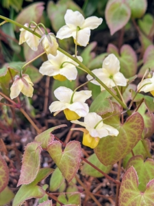 Epimedium, also known as barrenwort, bishop's hat, fairy wings, horny goat weed, or yin yang huo, is a genus of flowering plants in the family Berberidaceae. The majority of the species are endemic to China, with smaller numbers elsewhere in Asia, and a few in the Mediterranean region. The leaves are made up of leaflets, which can range in number from three to 50 and in size from as tiny to six inches long. They are generally heart-shaped, but can range from round to arrow-shaped.