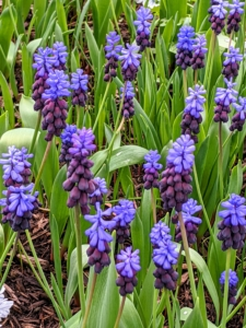 Muscari bloom in mid-spring. Deer and rodents rarely bother them, and the bulbs multiply readily, returning to bloom again year after year. Latifolium offers a unique ombre pattern of color on a single bloom.