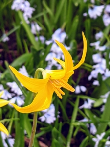 This is a trout lily. Its delicate blooms, which resemble turks cap lilies do best in dappled light.