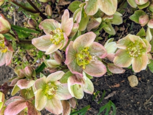 The hellebores continue to show beautifully at the farm. Hellebores are members of the Eurasian genus Helleborus – about 20 species of evergreen perennial flowering plants in the family Ranunculaceae. They blossom during late winter and early spring for up to three months. Hellebores come in a variety of colors and have rose-like blossoms. It is common to plant them on slopes or in raised beds in order to see their flowers, which tend to nod.