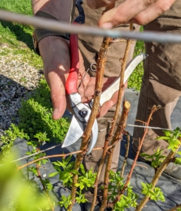Brian takes the newly sharpened pruners outside for a test. Here he is pruning one of the raspberry canes.