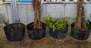 All these bare-root cuttings from JLPN arrived in bundles of 25, 50, 75, and 100. They also range from a foot tall to about three feet tall.