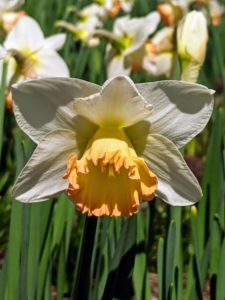 Narcissus 'Elizabeth Ann' has white flowers with a cup rimmed in medium pink. Fertilize daffodils with extra phosphorous to encourage good root development, especially when they're young.