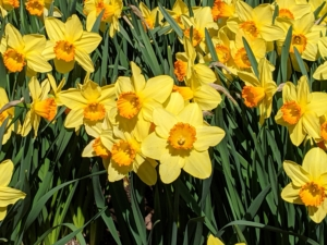 The species are native to meadows and woods in southwest Europe and North Africa. Narcissi tend to be long lived bulbs and are popular ornamental plants in public and private gardens.