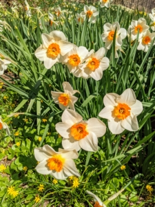 The American Daffodil Society classifies daffodils by their flower shape. Including hybrids, there are more than 13-thousand distinct daffodil varieties in existence.