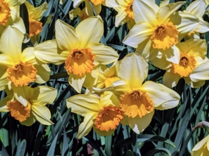 This cheerful daffodil, with its color contrast, makes a bold statement in the border. Cultivars with colored cups generally retain better color when planted in a little shade to protect them from the hot afternoon sun.