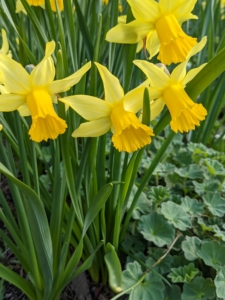 Daffodils can also grow in containers as long as there is room to multiply and room for the roots to fill out. They can bloom well for two to three years – after that, it's best to move them to a spot in the ground where they can come up once a year.