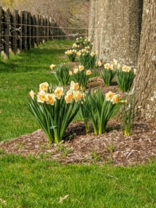 Van Engelen Inc. knew my passion for Narcissi, and named a daffodil variety after me a few years ago – Narcissus 'Martha Stewart'. I was so honored. I planted them under my allee of pin oaks. Driving down this road when these flowers are in bloom makes me so very happy.