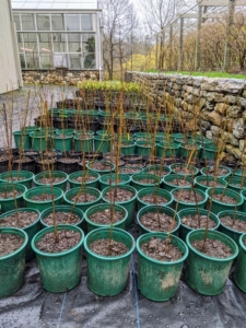 By afternoon, hundreds of bare-root cuttings are potted and carefully arranged outside. I am confident these trees will thrive in these pots and will be in excellent condition when it is time to plant them in their more permanent locations here at the farm.