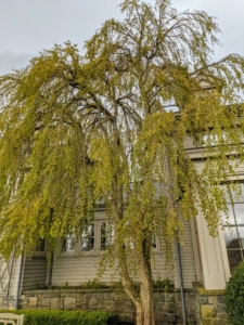 Just outside my kitchen on the terrace parterre is this weeping katsura, one of my favorite trees. Cercidiphyllum japonicum f. pendulum has pendulous branches that fan out from the crown and sweep the ground. Caramel-scented foliage emerges bronze or purple-red, turns blue-green, then fades to gold or apricot in autumn.