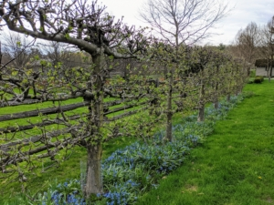 Across the carriage road are the beautiful Malus 'Gravenstein' espalier apple trees. I am hopeful we will have a very productive apple season this year.