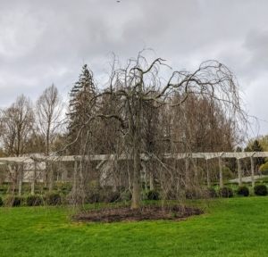 Rich, dark purple foliage in a cascading silhouette defines the Weeping Copper Beech when leafed out. There are no leaves just yet, but now is when one can see its very interesting shape with sweeping, pendulous branches.