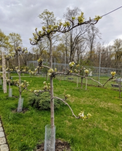 Last year, I purchased 10 espalier Asian pear trees and planted them outside my stable to one side and my peafowl, pigeon and geese enclosures to the other. Espalier refers to an ancient technique, resulting in trees that grow flat, either against a wall, or along a wire-strung framework. Many kinds of trees respond beautifully to the espalier treatment, but fruit trees, like apple and pear, were some of the earliest examples. These trees are all doing excellently.