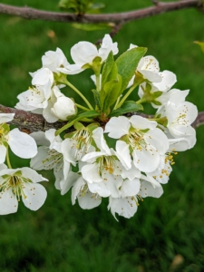Here are the flowers on one of my plum trees. Prunus americana has such beautiful white flowers. It produces very sweet, and juicy fruits. My plum varieties include 'Green Gage', 'Mount Royal', 'NY9', and 'Stanley'.