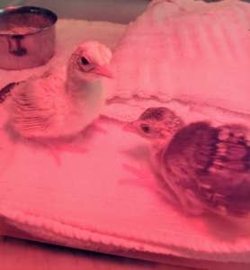 And a few hours later - a chick joins our peachick - both alert, curious and already so active. My peeps and peachicks are doing very well. I will share more photos with you as they mature.