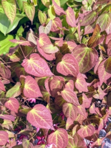 Some Epimediums are tinted red in spring and bronze in fall and winter.