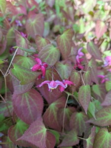 Sprays of white, pink, yellow, orange, or lavender flowers appear this time of year. And, some Epimedium blossoms look like miniature columbines or tiny daffodils, while others appear more like spiders or stars. Species with long sprays can even resemble orchids.