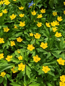 Trollius europaeus, commonly known as common globeflower or European globeflower, is a clump-forming perennial of the buttercup family. It features spring to early summer blooms of globular lemon-yellow flowers atop sparsely-leaved stems.