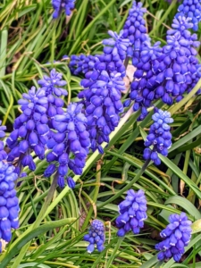 I also have more muscari flourishing in this area. These cobalt blue flowers grow to about six to eight inches tall. Muscari is better known as grape hyacinths, which have tight clusters of fat little bells with a grape juice fragrance. Muscari bloom in mid-spring, and deer and rodents rarely bother them.