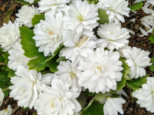 Sanguinaria canadensis, bloodroot, is a perennial, herbaceous flowering plant native to eastern North America. This one is a double-flowered bloodroot variety with perfectly formed balls of pure white flowers atop bold green leaves.