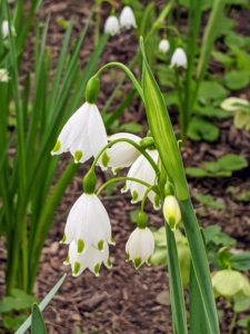 Leucojum vernum, or the spring snowflake, is a perennial plant that produces green, linear leaves and white, bell-shaped flowers with a green edge and green dots. The plant grows between six to 10 inches in height and blooms in early spring.