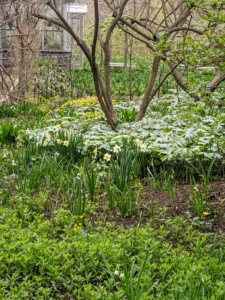 This area is across from my gym building and outside my main greenhouse. It is one of the first gardens one sees when visiting my farm. Under the dappled shade of the trees, this area and the gardens nearby are showing off some beautiful early spring growth.