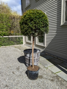 I also have two smaller, but still quite tall, topiaries with single foliage spheres.