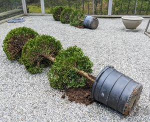 Not long ago, I purchased six large topiaries. Here are two of the four larger ones. This day was a bit windy, so Brian carefully laid them down to prevent them from being knocked over in their plastic pots.