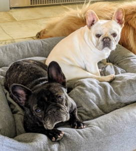It isn't long before Bete Noire and Creme Brulee are back in their bed for a little nap. The two Frenchies are now clean and comfy. I think they're waiting for their treats.