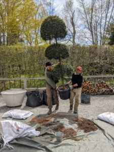 Here, Brian and Phurba carry one of the potted trees to a nearby tarp, so the original plastic pot could be removed.