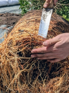 Brian does this carefully with all the topiary root balls - this one needed more attention. One can see how the roots were starting to grow under the root ball. Left in its pot, this topiary would start to decline.