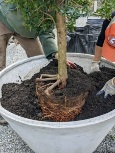 """More of my composted soil is added around the root ball. The important thing to remember is to plant the tree """"bare to the flare"""" - meaning the root flare at the base of the trunk should be slightly above the soil level."""