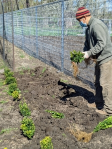 Next, one boxwood seedling is dropped into each hole. Chhiring does this in small batches, so the boxwood doesn't dry out. If planting a lot, keep the new seedlings in shade until they are planted in the ground.
