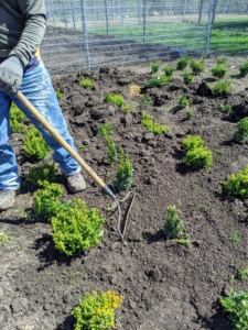 Pasang rakes around the boxwood to remove any weeds and to make it neat and tidy. Boxwood shrubs have shallow root systems, so it is important to keep the roots cool - a layer of mulch will also help to retain moisture.