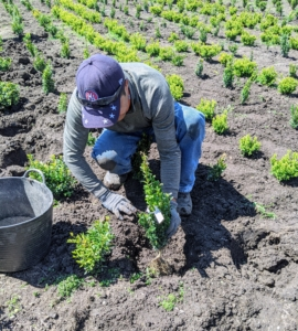 Pasang starts to plant another row of young seedlings. The crew was able to plant more than 160 seedlings in just a couple hours.