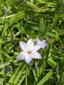 Ipheion uniflorum, commonly called spring starflower, is native to Argentina and Uruguay and features grass-like foliage and solitary star-shaped flowers on six inch tall stems. Flowers range in color from almost white to violet blue. Flowers have a mild spicy fragrance, and the foliage when bruised emits an oniony aroma.