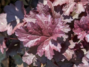 This is Heuchera. The glossy dark maroon, almost black, leaves keep their color all season – it adds a gorgeous accent to the beds.