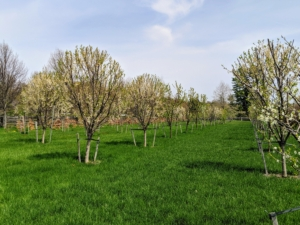 Surrounding the pool on the other three sides is my orchard. This orchard is also showing some wonderful spring color. I have more than 205 fruit trees in this area - it's filled with apple trees, plum trees, cherry trees, peach, apricot, pear, and quince trees.